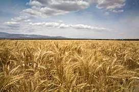 Wheat geneticists to decode massive genome | Bio { Cultural } Diversity | Scoop.it