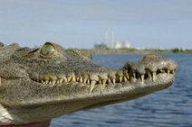 Mayor of Islamorada in Florida Keys wants crocodiles out | The Billy Pulpit | Scoop.it