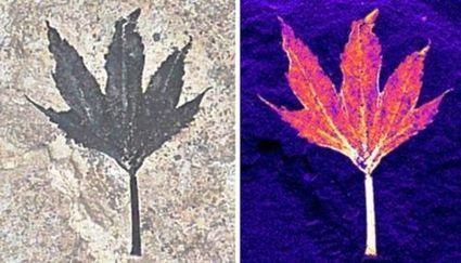 Les rayons X révèlent la biochimie de plantes fossilisées   Le Grenier d'Elise   Scoop.it