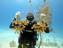 Divers volunteer on coral restoration in Fla. Keys - Colorado Springs Gazette | Bookyourdive | Scoop.it