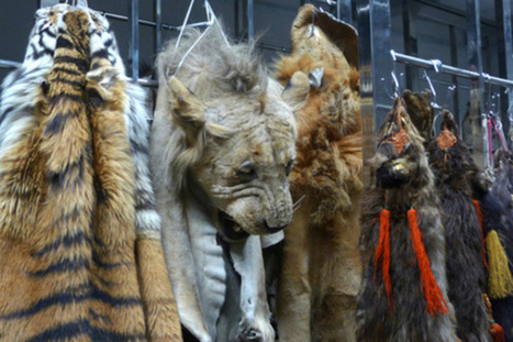 Understanding the horrors of Poaching | Wildlife Trafficking: Who Does it? Allows it? | Scoop.it