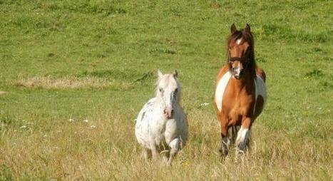 Un poney s'enfuit pour sauver la vie d'un cheval blessé ! - Laon et environs - L'Aisne Nouvelle | Cheval et Nature | Scoop.it