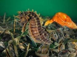 La Dépêche du Bassin: L'hippocampe de retour dans les eaux du Bassin | Le Bassin d'Arcachon | Scoop.it