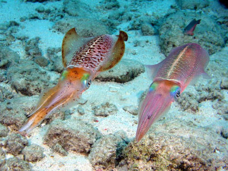 New Infrared Camouflage Coating Created from Squid-Derived Compound - Sci-News.com   Science & technology   Scoop.it