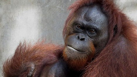 5 orangutans released into the wild in E.Kalimantan | Oceans and Wildlife | Scoop.it