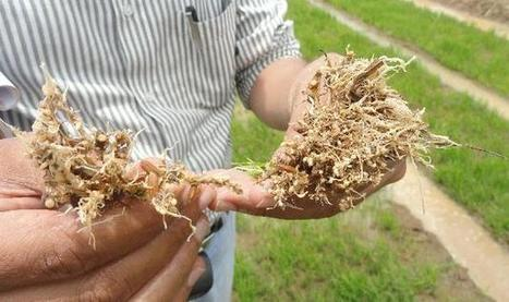 Rs. 5000-cr. worth crops lost due to nematodes in Karnataka - The Hindu | Plant-parasitic nematodes | Scoop.it