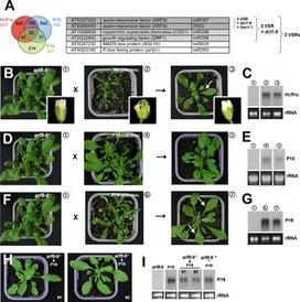 PLOS Pathog: Correction: Misregulation of AUXIN RESPONSE FACTOR 8 Underlies the Developmental Abnormalities Caused by Three Distinct Viral Silencing Suppressors in Arabidopsis | Plant pathology | Scoop.it