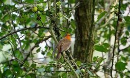 Robin's alarm flashes red for danger across the green space | Wenlock Edge | Scoop.it