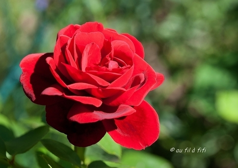 Au fil : rose rouge... | The Blog's Revue by OlivierSC | Scoop.it