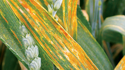 Yellow rust on course for worst-ever season   Global crop health   Scoop.it