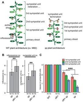 PLOS Genetics: Tomato Yield Heterosis Is Triggered by a Dosage Sensitivity of the Florigen Pathway That Fine-Tunes Shoot Architecture | Plant Gene Seeker -PGS | Scoop.it