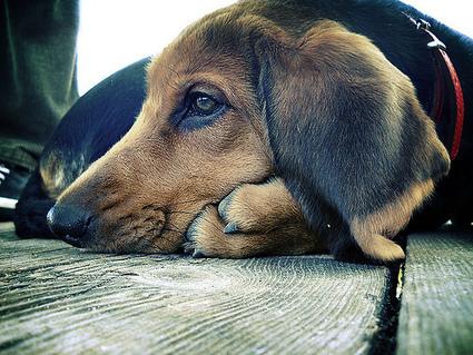 Eye Problems in Dogs | GLOBAL GOOD GROUP | The DIY Veterinarian | Scoop.it