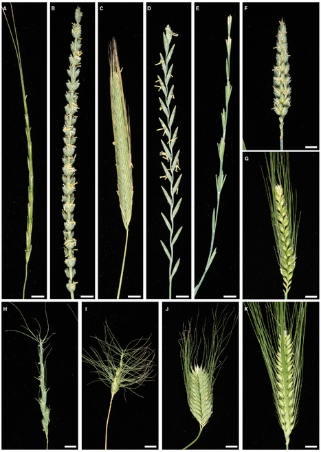 Frontiers in Plant Sci: Strategies for transferring resistance into wheat: from wide crosses to GM cassettes (2014) | Love | Scoop.it