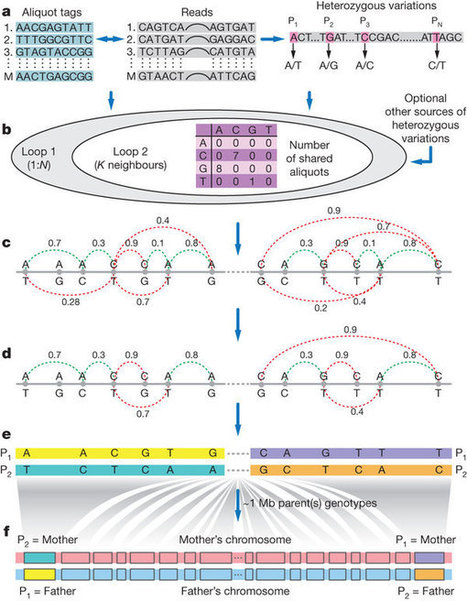 Accurate whole-genome sequencing and haplotyping from 10 to 20 human cells : Nature : Nature Publishing Group | SynBioFromLeukipposInstitute | Scoop.it