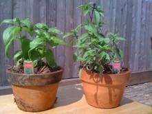 Gardening in Winter with Container Herbs | Permaculture University | Scoop.it