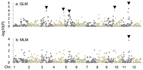 Quantitative trait loci for rice blast resistance detected in a local rice breeding population by genome-wide association mapping | Rice Blast | Scoop.it