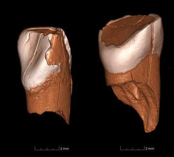Dos dientes de 41.000 años de edad revelan la llegada de los humanos modernos a Europa | Arqueología, Historia Antigua y Medieval - Archeology, Ancient and Medieval History byTerrae Antiqvae (Blogs) | Scoop.it