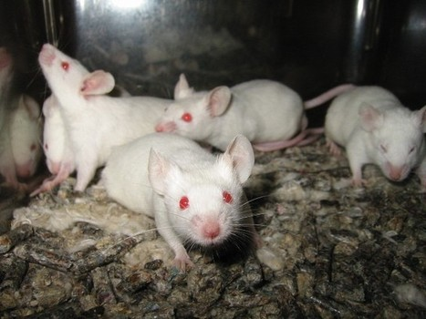 Experimental Cancer Drug FRAX486 Reverses Schizophrenia Symptoms in Mice | Amazing Science | Scoop.it