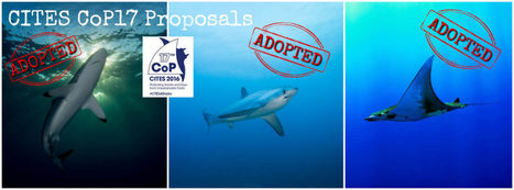 Conservationists Welcome Shark & Ray Listings at CITES CoP | All about water, the oceans, environmental issues | Scoop.it