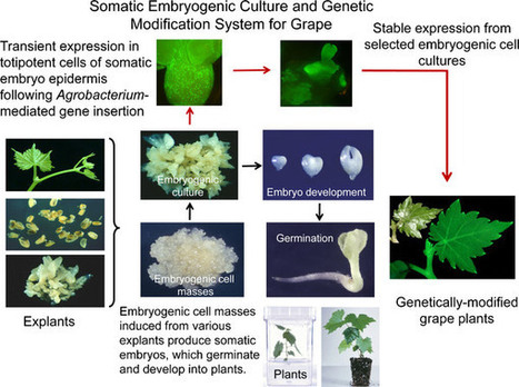 An optimized procedure for plant recovery from somatic embryos significantly facilitates the genetic improvement of Vitis | Plant Gene Seeker -PGS | Scoop.it