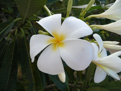 Base de données Nadeaud de la flore de la Polynésie française | Danse Polynésienne à Paris | Scoop.it