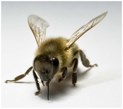 Honeybee friendships may shed light on human social life | Insect Archive | Scoop.it