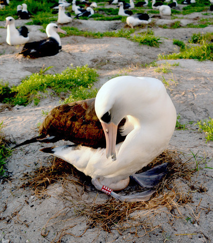 63 Year Old Albatross Lays an Egg | Wildlife News | Scoop.it