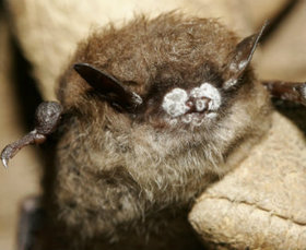 Blood and Spore: How a Bat-Killing Fungus Is Threatening U.S. Agriculture | Bat Biology and Ecology | Scoop.it