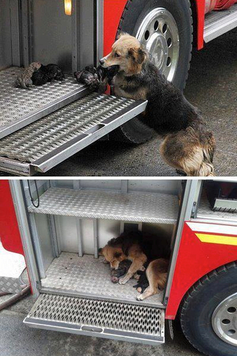 Dog of the Day: Dog Saves Her Puppies From House Fire, Puts Them Safely in Firetruck! | Adorable | Scoop.it