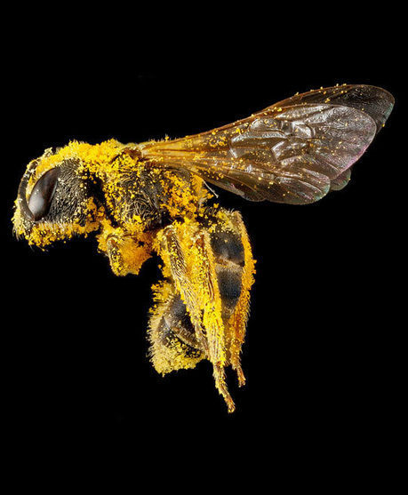 Close up of a pollen covered bee… | The Benefits of Bee Pollen | Scoop.it