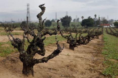 Do old vines really produce better wine? | Vitabella Wine Daily Gossip | Scoop.it