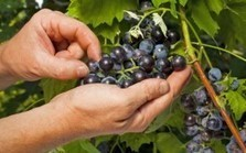 "Grape Seed Extract Superior to Anti-Diabetes Drug (""healthy alternative to synthetic Metformin?"") 