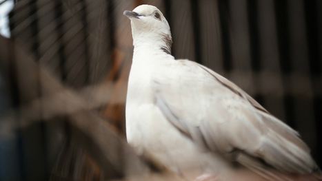 Police in Argentina Confiscate Drug Ring's Narco-Pigeons - KMBZ   mexican drug wars   Scoop.it