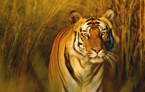 A Death Sentence for the Bengal Tiger? | Endangered species | Scoop.it