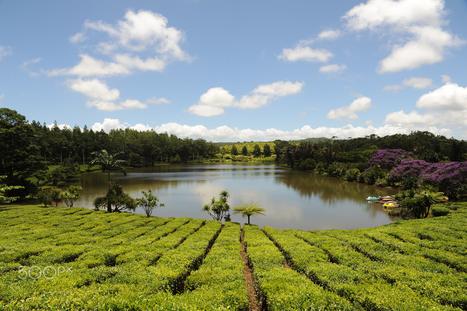 Tea in Mauritius | Tourisme | Scoop.it