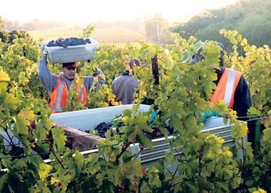 Winemakers pleased with quality, size of early 2013 harvest | Autour du vin | Scoop.it