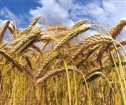 Argentine wheat safe for now from late winter frost | Food Insecurity | Scoop.it