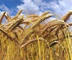 Argentina: Estima Ministerio de Agricultura que area sembrada con trigo crecera 26.5% | Educación Agraria | Scoop.it