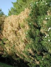 ASTREDHOR : Prophylaxie et lutte contre Xylella fastidiosa - Résultats d'essais / Programmes nationaux | Arboriculture: quoi de neuf? | Scoop.it