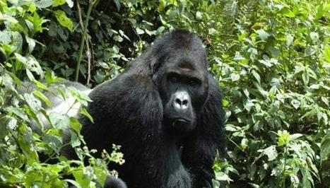 World's Largest Living Eastern Gorilla Comes Closer to Extinction | Advocating for Wildlife | Scoop.it