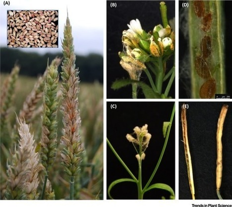 Host to a Stranger: Arabidopsis and Fusarium Ear Blight | PlantBioInnovation | Scoop.it