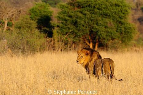 Quand la hyène se taille la part du lion, et vice-versa | C@fé des Sciences | Scoop.it