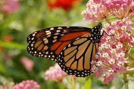 Massive Monarch Butterfly Decline - Tracking The Causes - GMOs, Pesticides, Habitat Loss, Climate Change | YOUR FOOD, YOUR ENVIRONMENT, YOUR HEALTH: #Biotech #GMOs #Pesticides #Chemicals #FactoryFarms #CAFOs #BigFood | Scoop.it