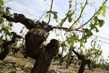 Intempéries : un millier d'hectares de vigne grêlé en Gironde - Terre de Vins | Actus Vins | Scoop.it