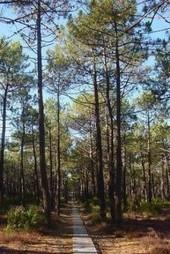 Nuevos métodos para combatir las plagas forestales en los bosques de pinos: España | Ricardo | Scoop.it
