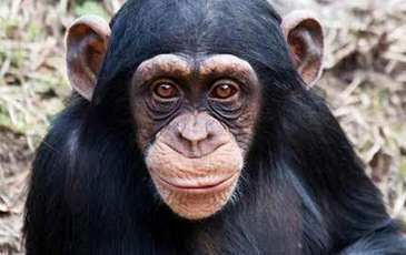 Endangered eastern chimpanzees inhabit rapidly shrinking Ugandan forest fragments | GarryRogers NatCon News | Scoop.it