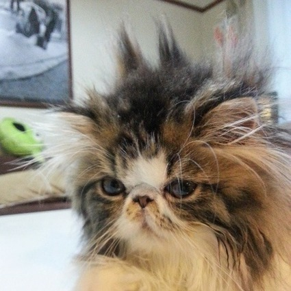 Bad Hair Day Cats | Funny Cats | Scoop.it
