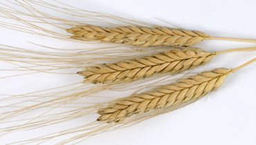 Das älteste Getreide und sein Weg in die weite Welt   World Neolithic   Scoop.it