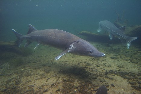 A Third Of Freshwater Fish At Risk Of Extinction | Environmental and Animal Rights | Scoop.it