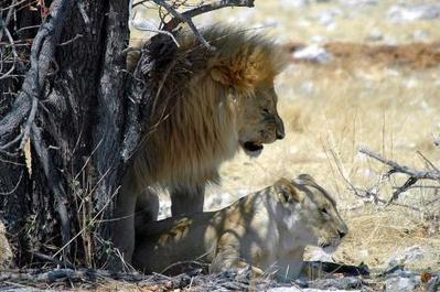Epic journey to create awareness about lions | Sizzlin' News | Scoop.it